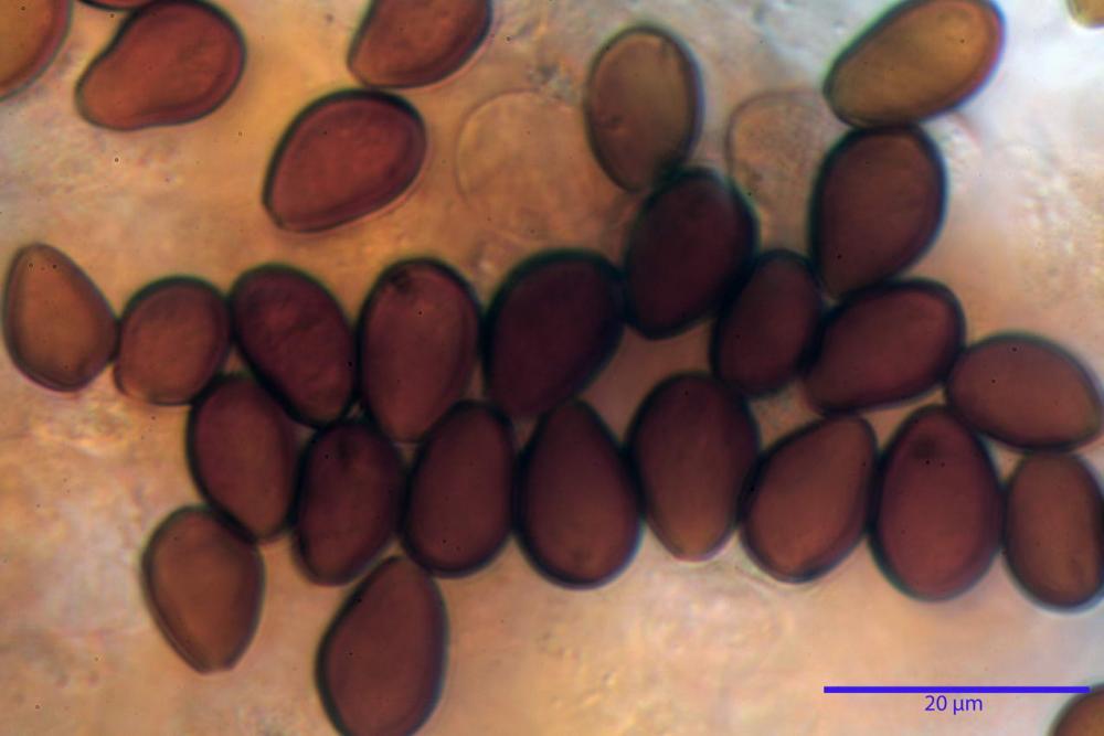 Bolbitius coprophilus 7464 33.JPG