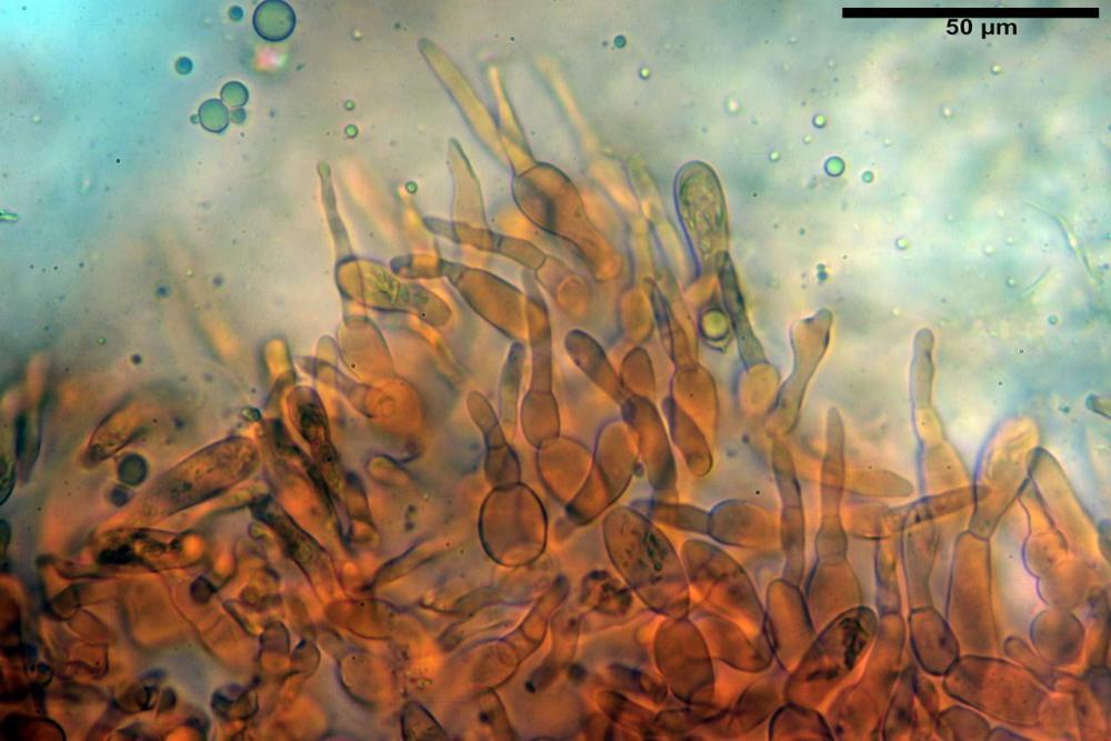 Russula faustiana0006.JPG