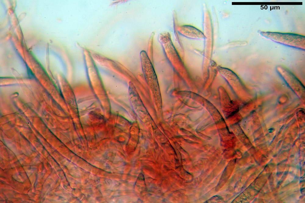 russula farinipes 5001 31.jpg