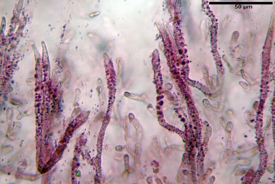 russula roseoaurantia 4685 05.jpg