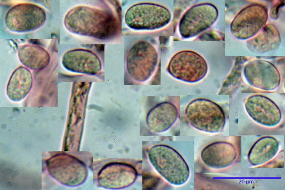 Craterellus cornucopioides fo  lutea 33 _resize.jpg