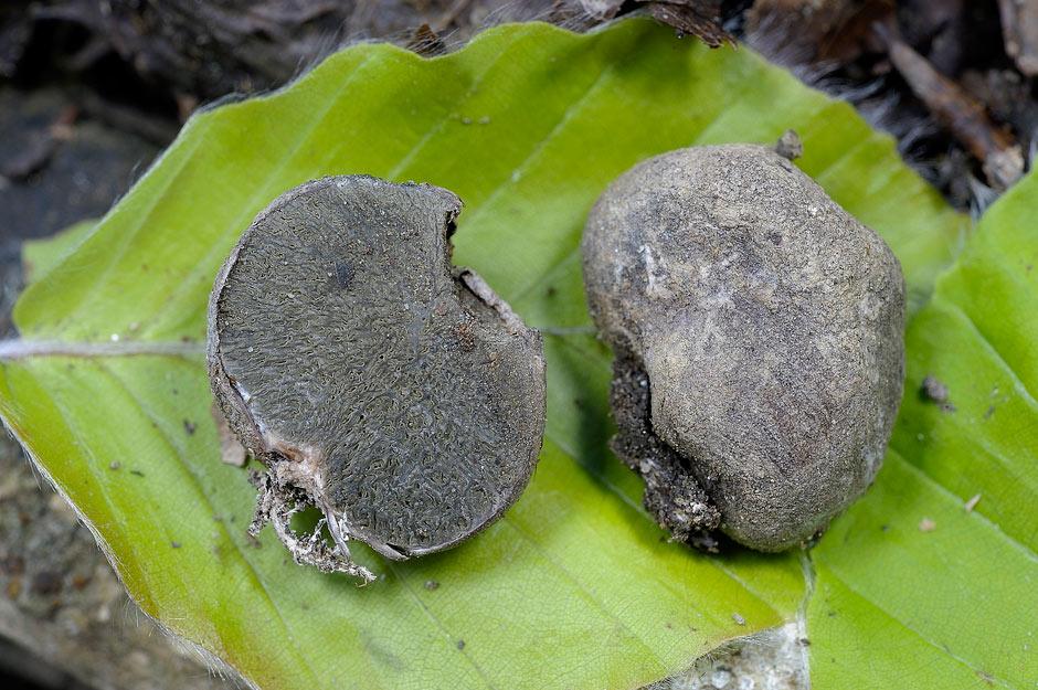 hysterangium crassum 4656 04.jpg