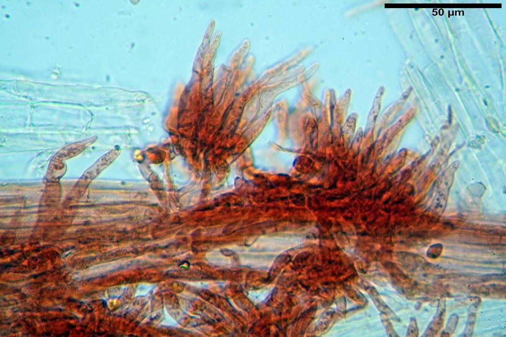 flammulaster carpophilus var carpophilus 4860 41_resize.jpg