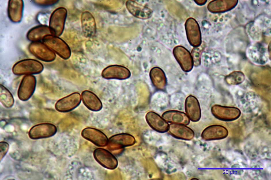 pholiota tuberculosa 4736 33.jpg