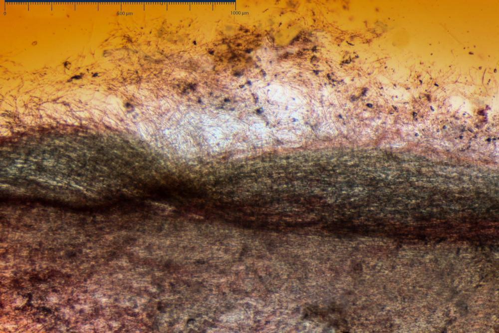 Phaeocollybia lugubris 6657 11.jpg