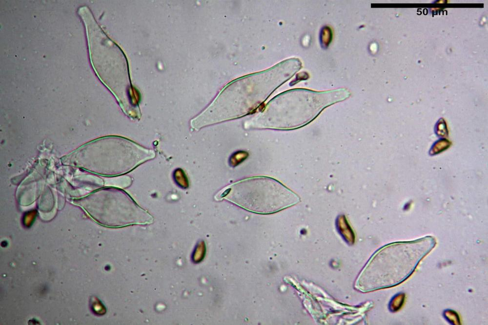 Inocybe phaeodisca var geophylloides 5226 19.jpg