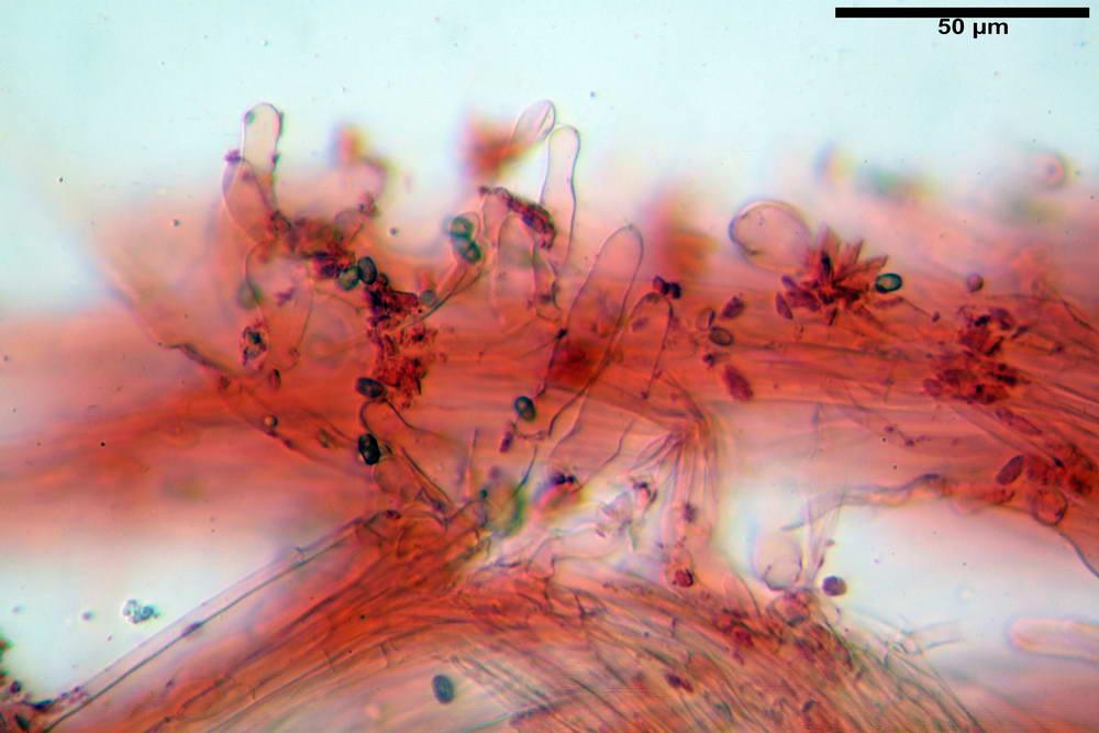 psathyrella hydrophila 48.jpg