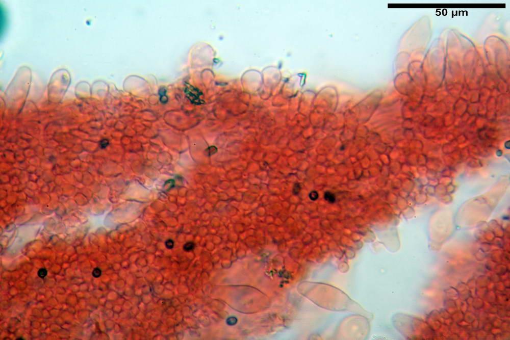 psathyrella hydrophila 17.jpg
