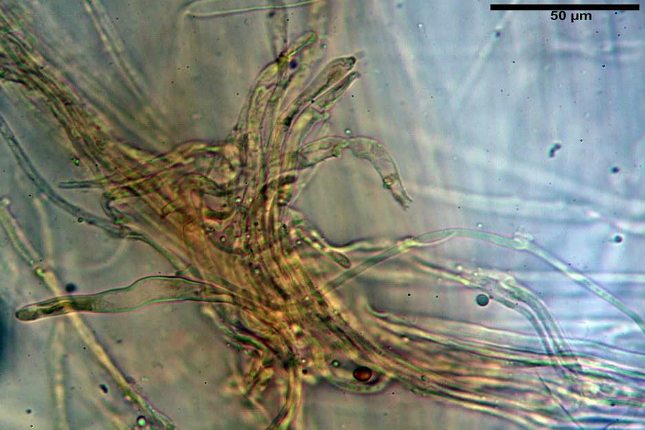 pholiota higlandensis 4837 35.jpg