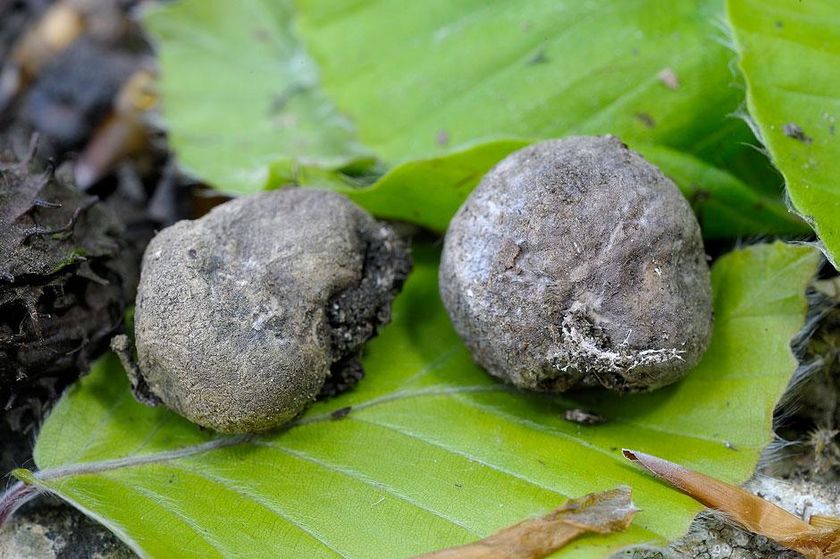 hysterangium crassum 4656 02.jpg