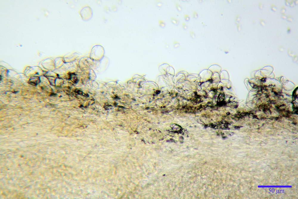 flammulaster carpophilus var carpophilus 4860 05_resize.jpg