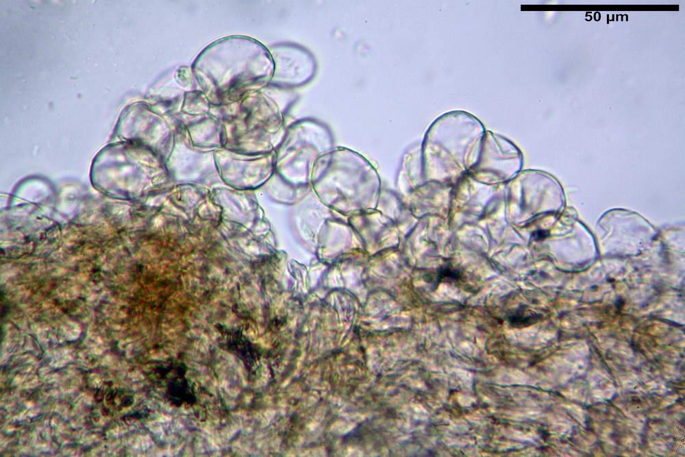 flammulaster carpophilus var carpophilus 4860 10_resize.jpg