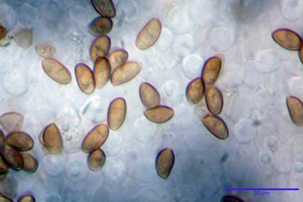 Pholiotina dasypus 7474 18.JPG