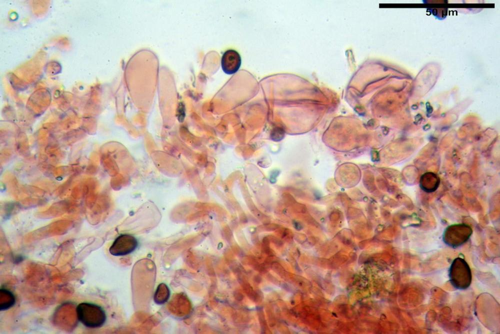 Bolbitius coprophilus 7464 18.JPG