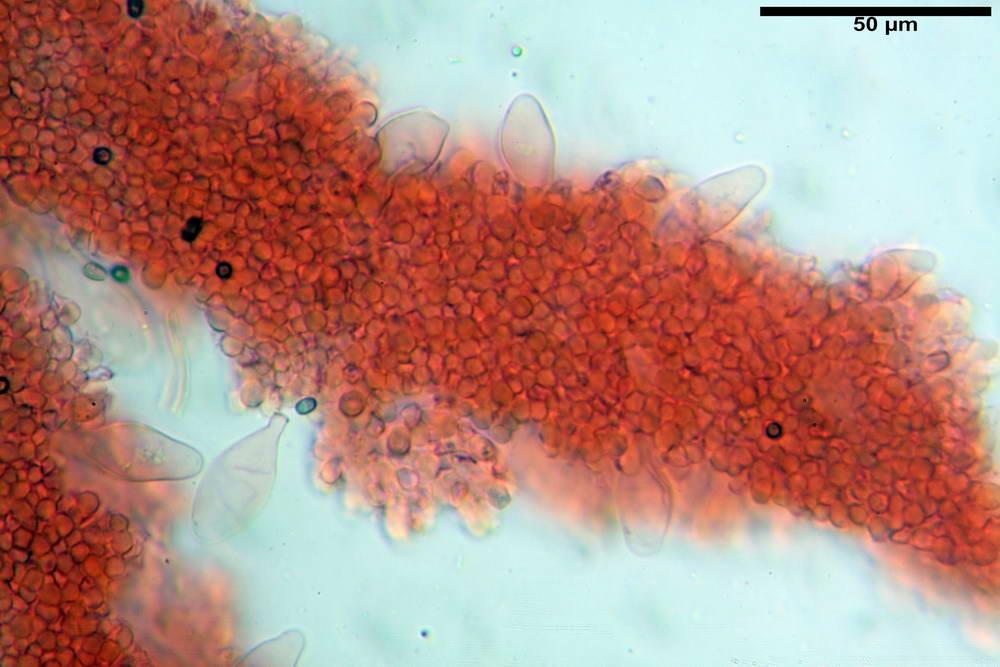 psathyrella hydrophila 20.jpg