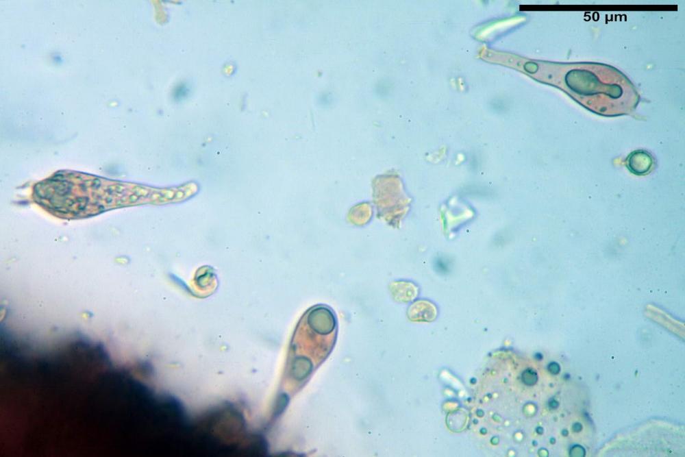 Russula tinctipes 7355 21.jpg