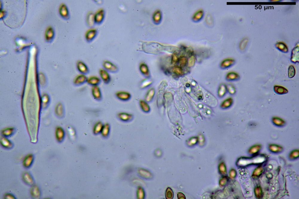 Inocybe flocculosa var crocifolia 7068 51.jpg