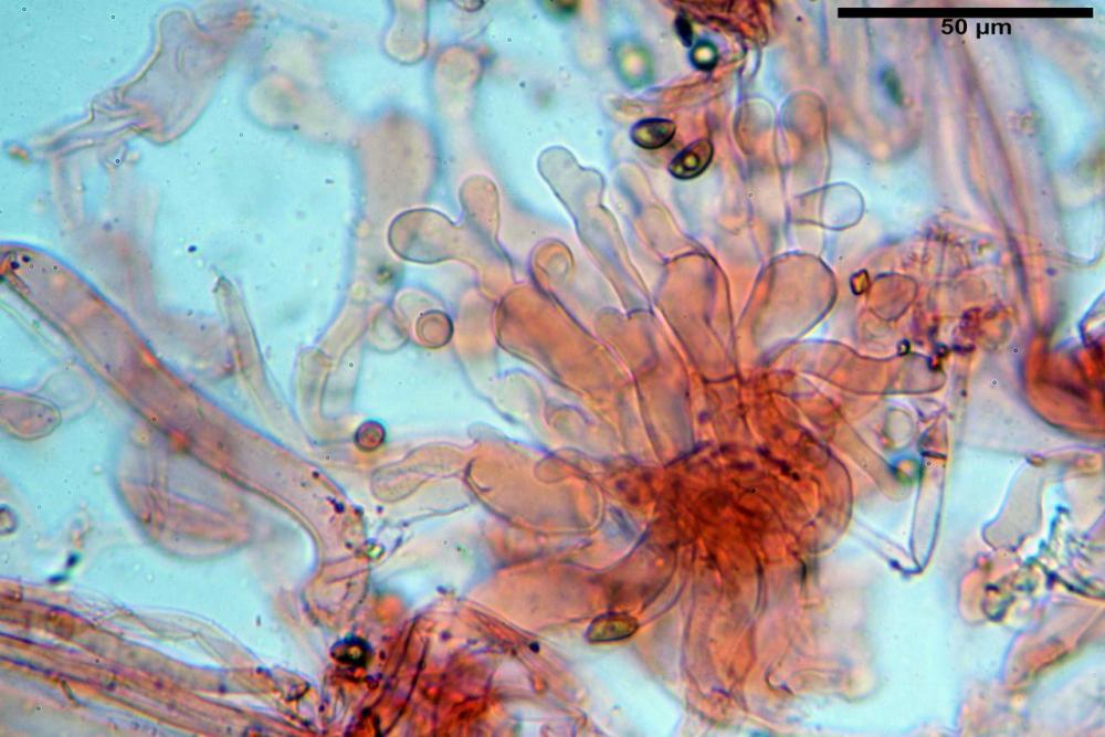 Pholiotina dasypus 7474 29.JPG