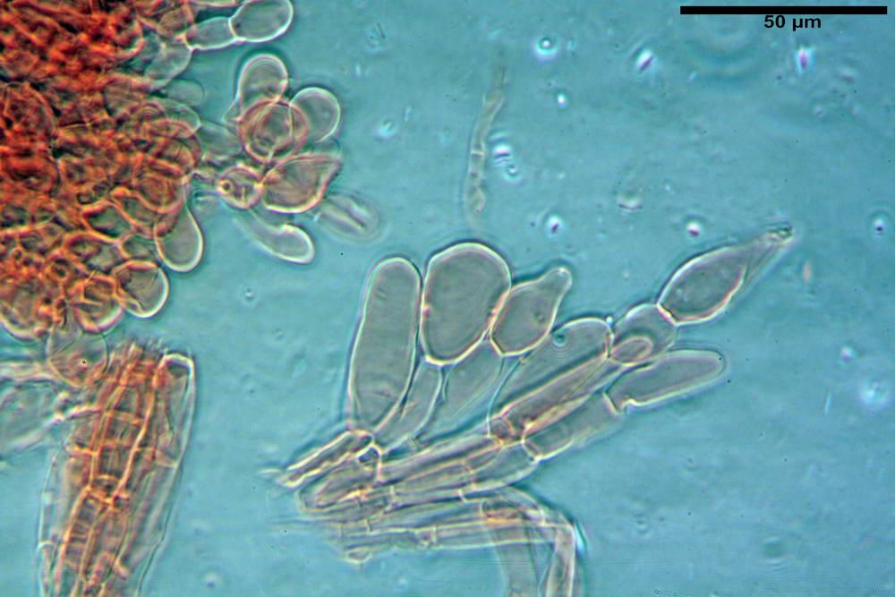 coprinopsis 53.jpg