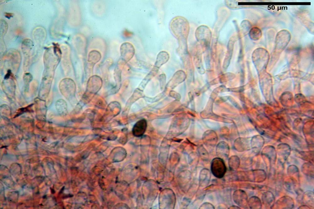 Bolbitius coprophilus 7464 08.JPG