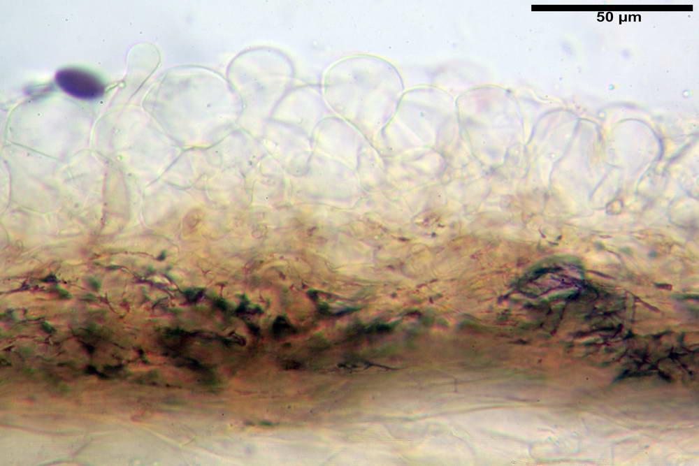 panaeolus papilionaceus var papilionaceus 5070 09.jpg