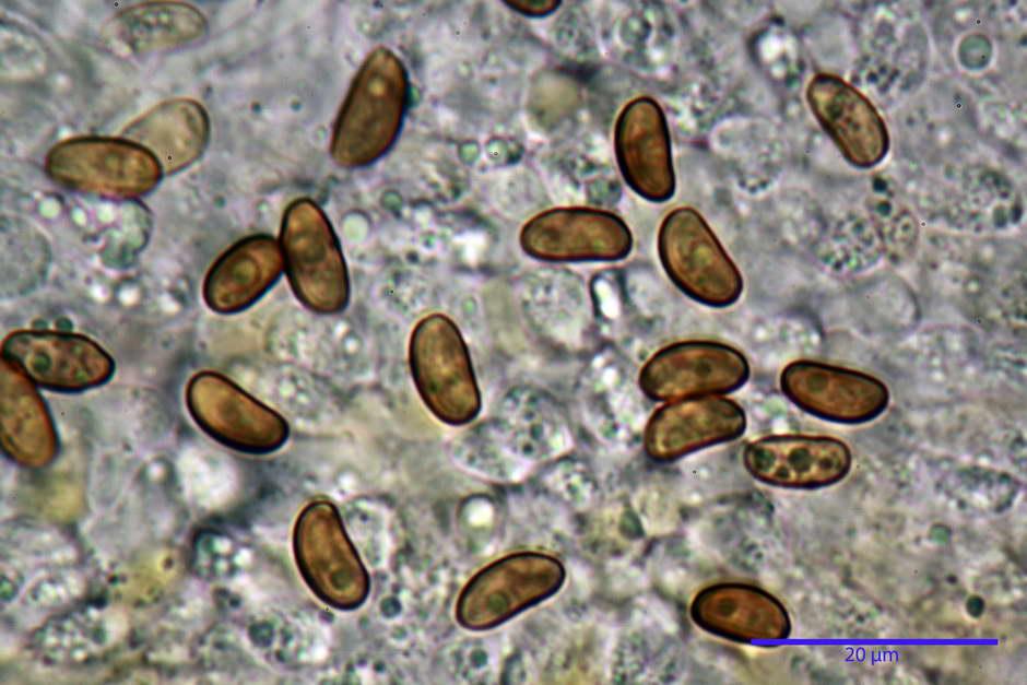 pholiota tuberculosa 4736 34.jpg