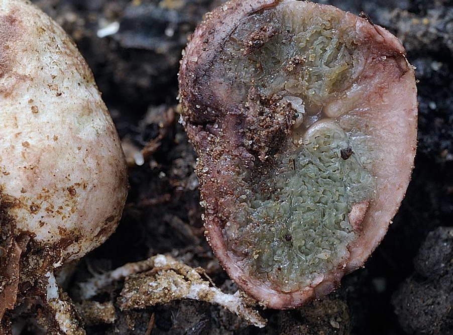hysterangium coriaceum 5056 4.jpg