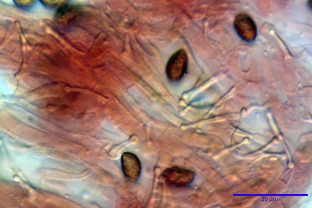 Phaeocollybia lugubris 6657 81.jpg