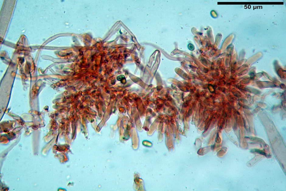 Pholiota conissans 4823 55.jpg