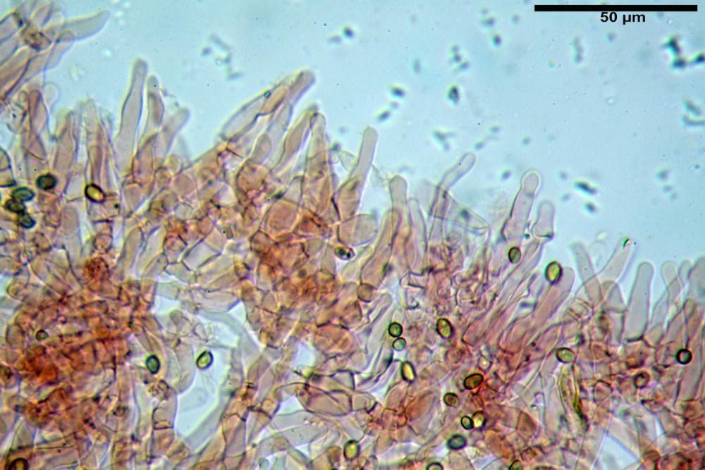 Hypholoma radicosum 6693 12.jpg