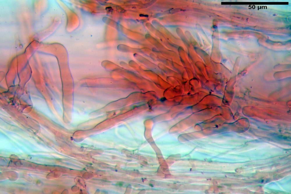 panaeolus acuminatus048.jpg