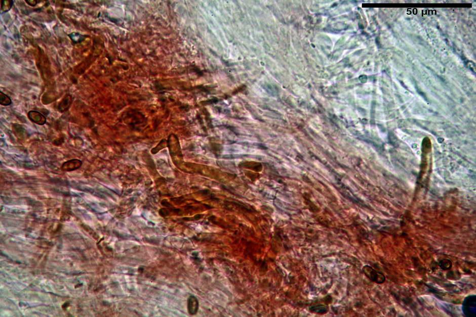 pholiota tuberculosa 4736 40.jpg