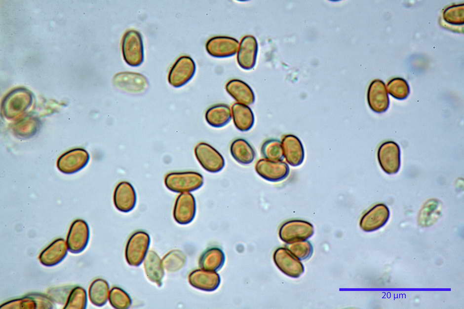 Pholiota conissans 4823 70.jpg