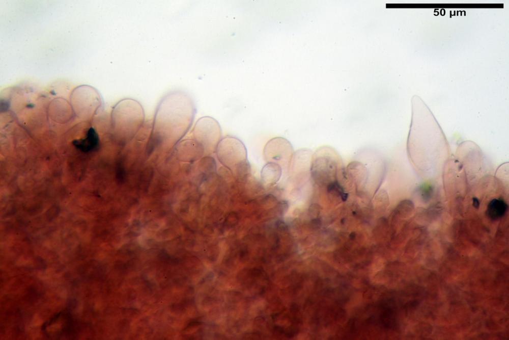 Psathyrella fatua 6261 18.jpg
