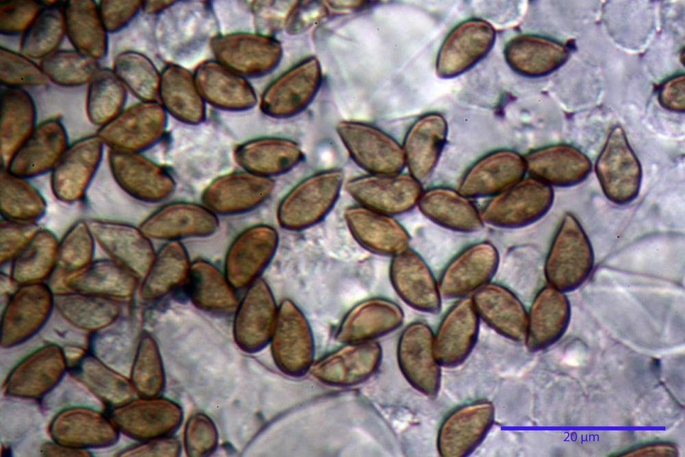 Inocybe phaeodisca var geophylloides 5226 32.jpg