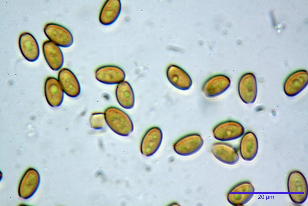Conocybe macrocephala spore ammoniaca.jpg