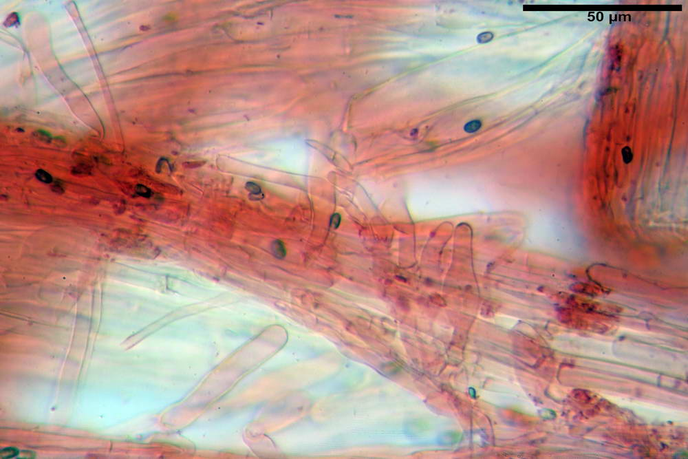 psathyrella hydrophila 46.jpg