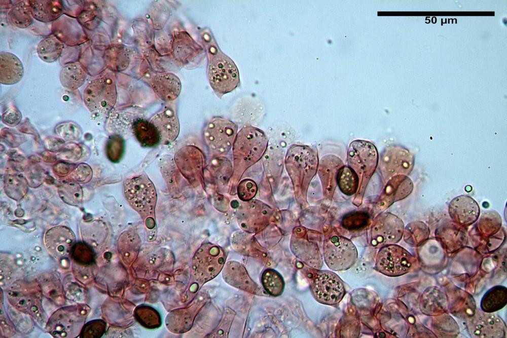 conocybe albipes var albipes basidi.jpg