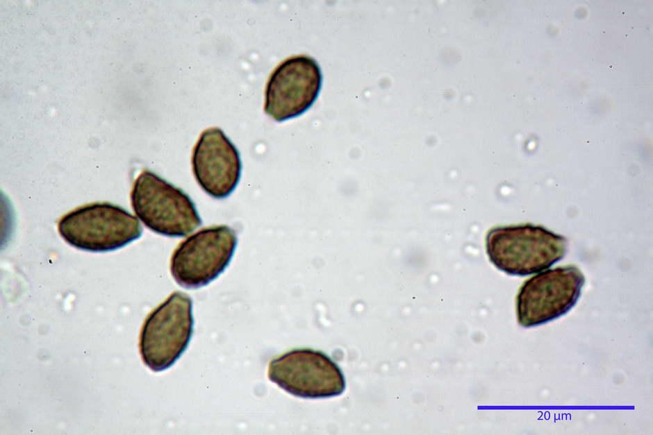 lacrymaria lacrymabunda 4754 52.jpg