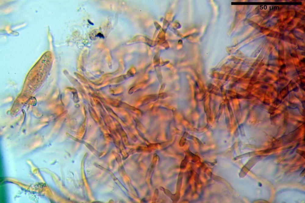 Russula graveolens 6800 09.jpg