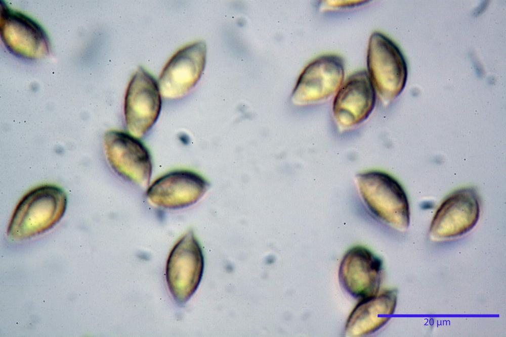 Hebeloma quercetorum 7370 53.JPG