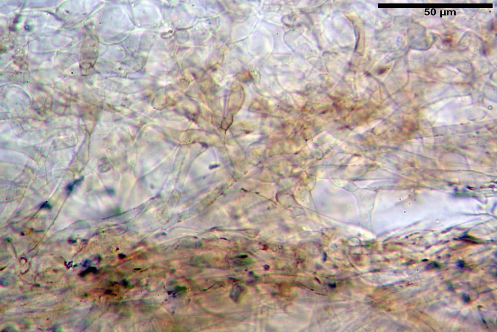 panaeolus papilionaceus var papilionaceus 5070 12.jpg