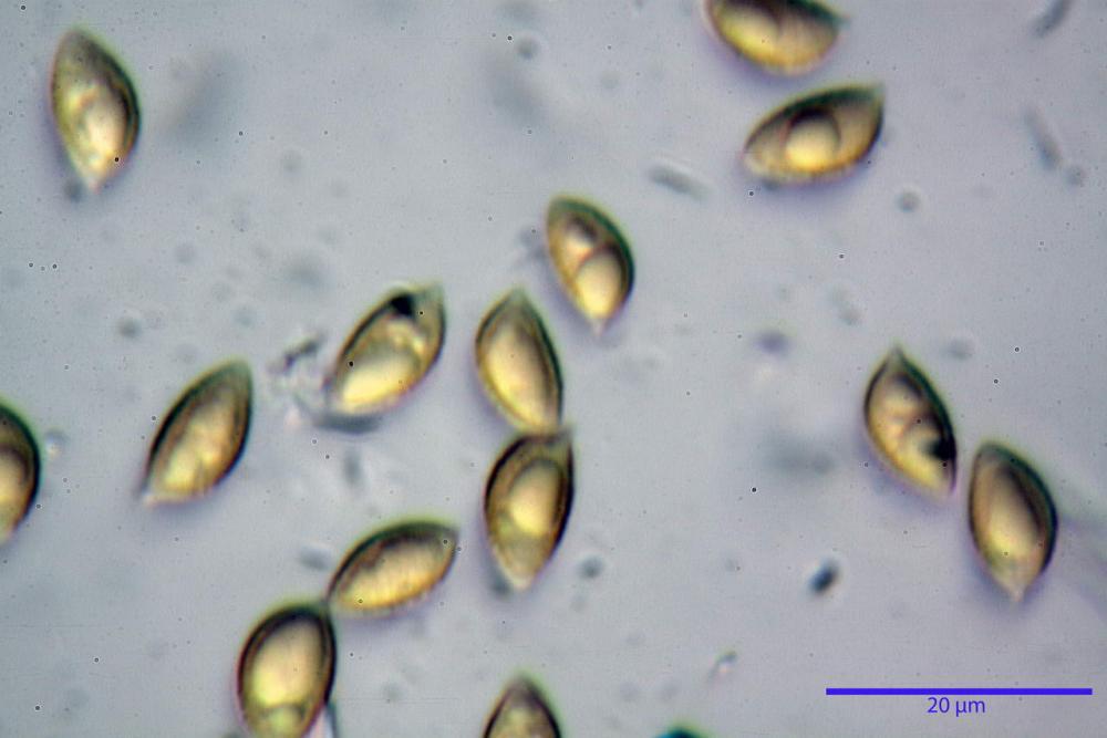 Hebeloma quercetorum 7370 54.JPG