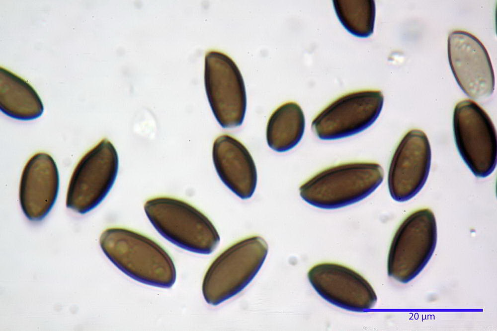coprinopsis 44.jpg