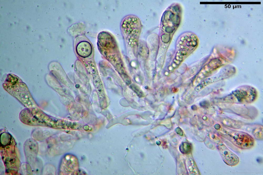 amanita ceciliae 24.jpg