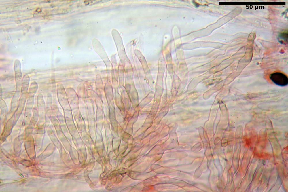 panaeolus papilionaceus var papilionaceus 5070 66.jpg
