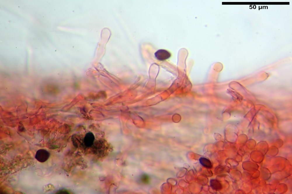 panaeolus acuminatus051.jpg
