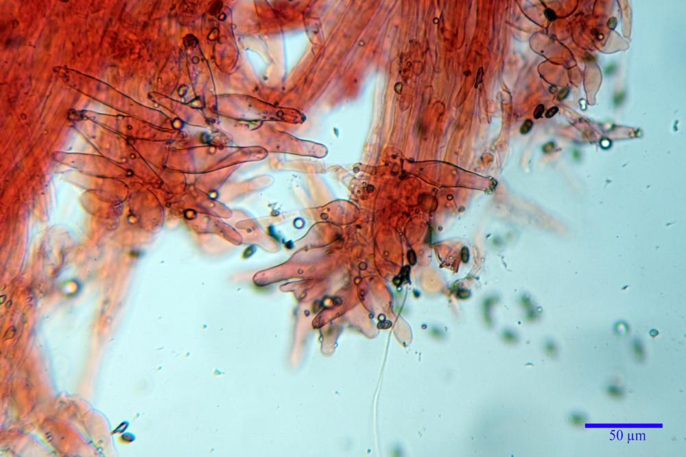 Psathyrella olympiana 66.jpg