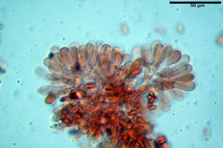 lepiota griseovirens 4598 15.jpg