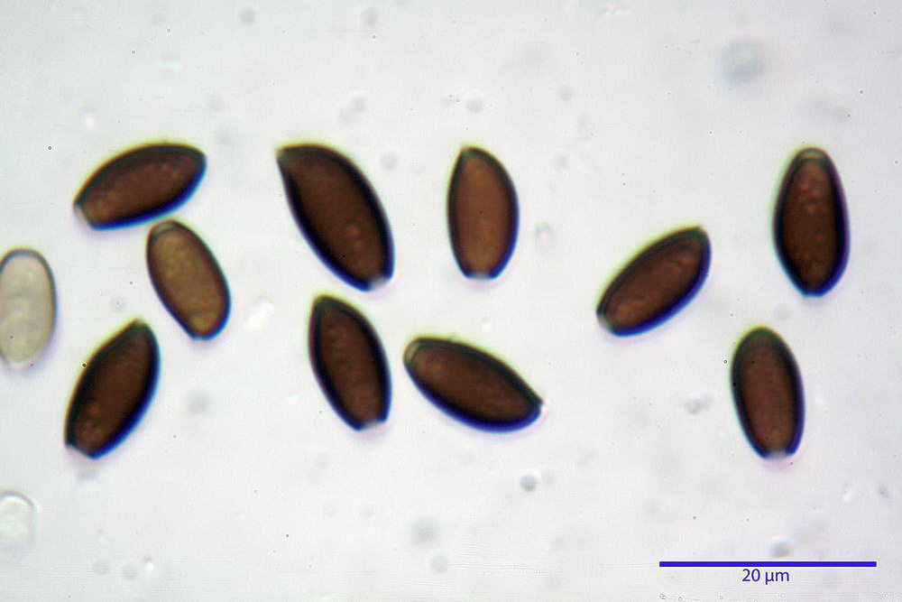 coprinopsis 38.jpg